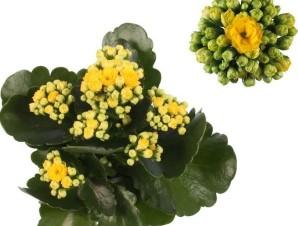 Каланхое Каландива желтое