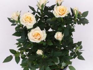 Роза Кордана белая
