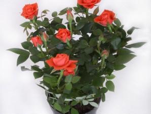 Роза Кордана красная