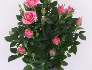 Роза Патио малиновая